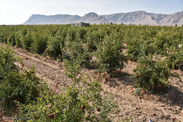 ۲۴۰۰ هکتار از مزارع کشور با فاضلاب آبیاری می شود